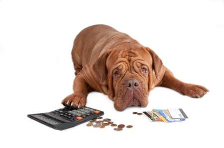 bordeaux dog: Dogue de bordeaux worried about its financial state