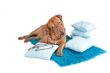 molosse: Curiuos dog lying on blue carpet with pillows and jewelry Stock Photo