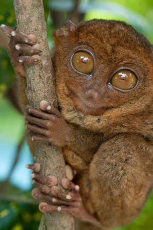 Tarsier- the smallest primate on Earth