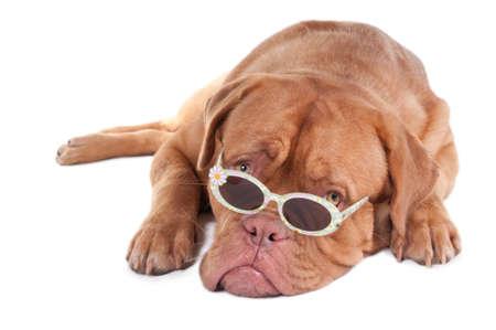 stilish: Dogue de bordeaux looking over stilish sunglasses with daisies Stock Photo