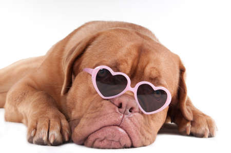 Puppy with heart shaped pink framed glasses photo