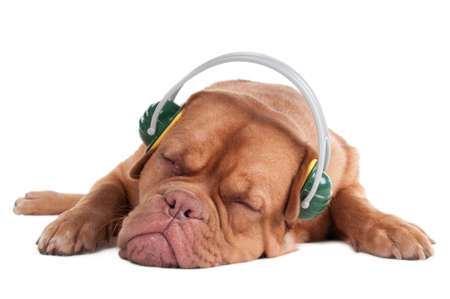 Dogue de boedeaux is sleeping while listening to music photo