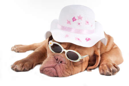 Dogue de bordeaux  with glomour sunglasses and hat photo