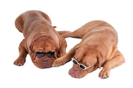 Two dogs with sunglasses looking like mafia members photo