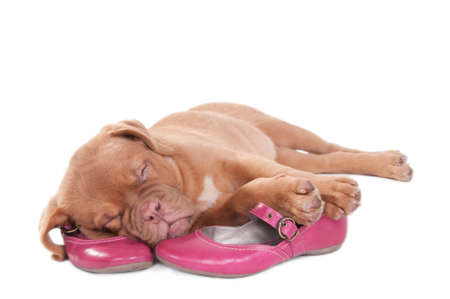 anima: Puppy sleepinf sweetly on pink shoes