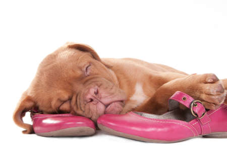 Puppy sleeping sweetly on pink shoes photo