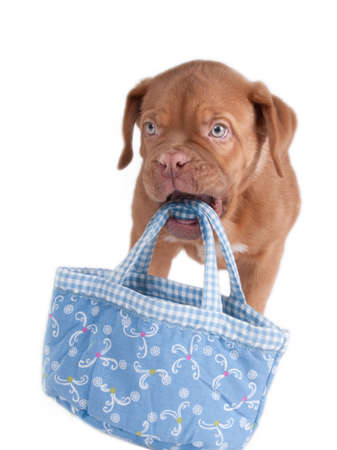 paw smart: Puppy carrying a summer blue bag Stock Photo