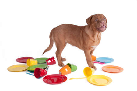 fedup: Dogue de bordeaux standing among party dishes