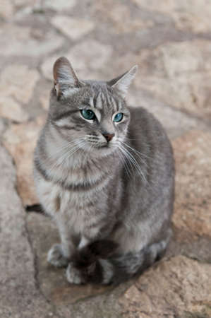 gray cat: Beautiful gray cat sitting on the ground Stock Photo