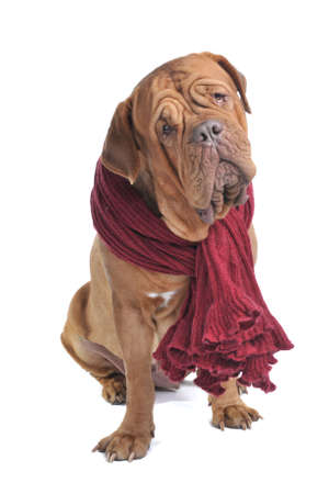 Big Dog with a Curious look wearing a warm woolen scarf photo