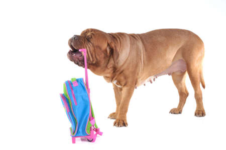 Big Dog with a Colorful Suitcase photo