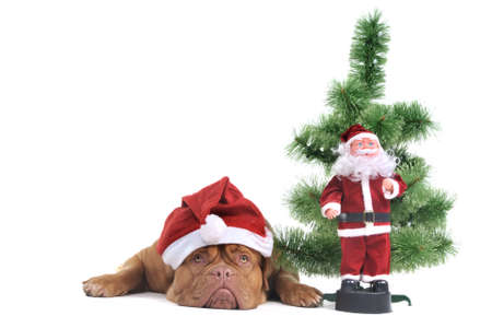 animal behavior: Puppy under a Christmas Tree with Santa figure Stock Photo