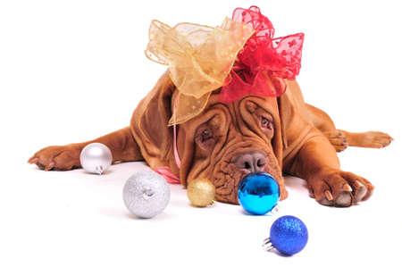 Lady Santa Dog dressed for Christmas photo