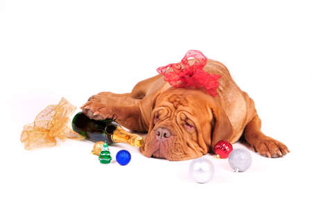bordeaux dog: Big Dog is Ready for Christmas