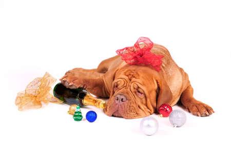 perro boxer: Perro grande est� listo para Navidad  Foto de archivo
