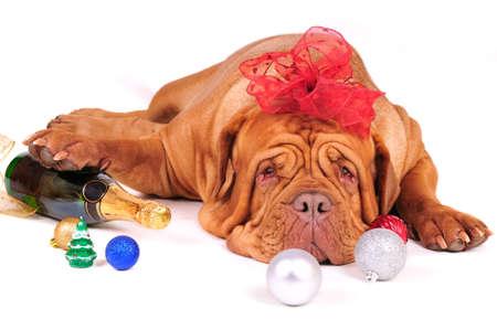 botellas pet: Perro grande es Tired de espera para Navidad  Foto de archivo