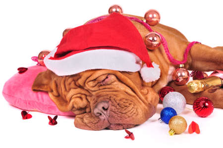 Glamourous Santa Dog fell asleep photo