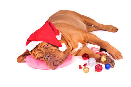 Big Dog in Santa Hat Sleeping before the Christmas Party Stock Photo - 8188729