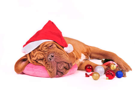 Tired Santa Dog decided to have some rest photo