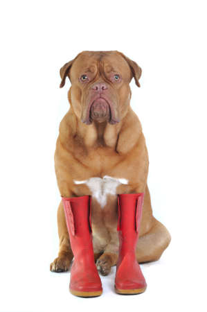wellington: Big Dog Wearing Big Red Rubber Boots Stock Photo