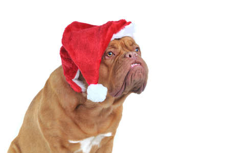 Funny Santa Dog is waiting for her snack photo