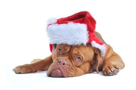 Cute Dogue De Bordeaux Puppy Dressed as Santa photo