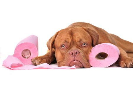 Cute puppy with two rolls of toilet paper Stock Photo - 8188760