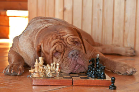 Dog is Tired of playing Chess photo