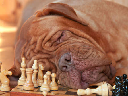 got: Big Dog got tired of a long chess game