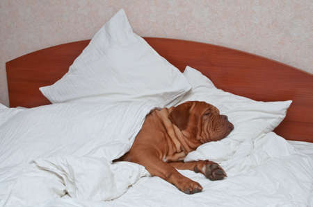 bed sheet: Big Dog Sleeping comfortably in Humans Bed