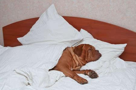 one sheet: Grande cane dormire comodamente in Humans Bed Archivio Fotografico