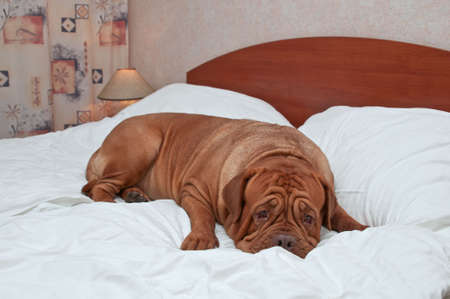 bordeaux dog: Big Goodnight Dog on a Bed