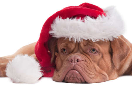 dogue: Lying Dogue de bordeaux with red Santa hat