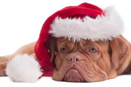 bordeaux dog: Lying Dogue de bordeaux with red Santa hat