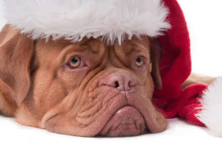 Dogue de bordeaux with red Santa hat photo