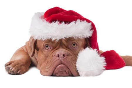 dogue de bordeaux: Lying Dogue de bordeaux with red Santa hat