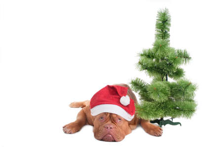 Dogue with Santas hat lying next to small Christmas tree photo
