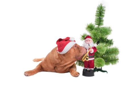 Puppy of dogue de bordeaux with Santa cap sniffing a Christmas toy photo