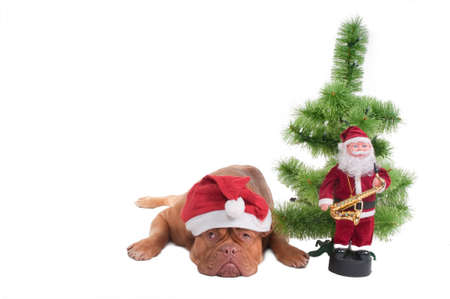 Dog with Santas hat and Christmas decorations  photo