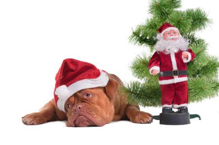 Sad dogue de borgeaux waiting for Santa photo
