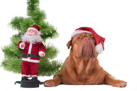 Dog with Santas cap lying next to a Christmas tree and Santa toy photo