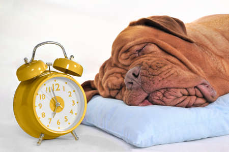 overslept: Big Dog Sleeping Sweetly with Golden Alarm-Clock