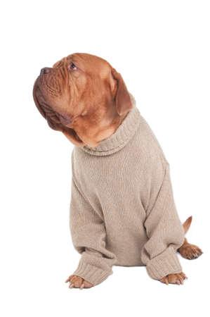 dogue de bordeaux: Dogue de bordeaux in a sweater looking aside