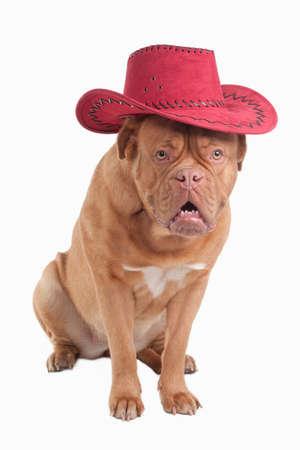 Funny dogue de bordeau with red cowboy hat photo