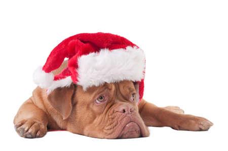 animal sad face: Puppy of dogue de bordeaux with Santa hat Stock Photo