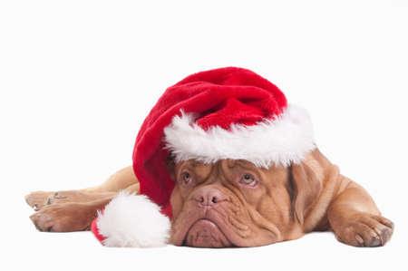 Tired dogue de bordeaux with Santa hat photo