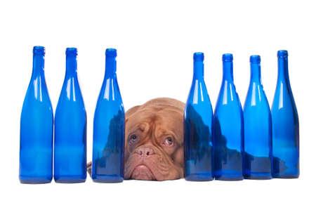 dogue de bordeaux: Tired dogue de bordeaux lying between empty wine bottles