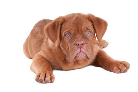 dogue de bordeaux: Cute puppy of dogue de bordeaux isolated on white Stock Photo