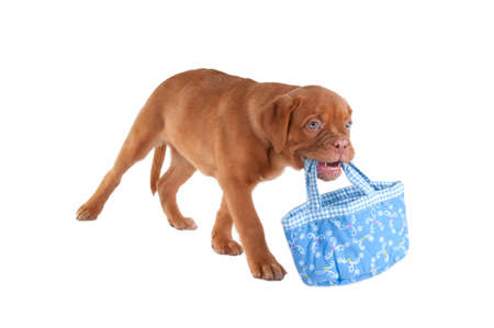 paw smart: Little puppy carrying a blue bag in its mouth Stock Photo