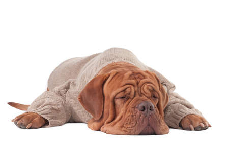 paw smart: Dogue de boedeaux in a sweater sleeping on the floor Stock Photo